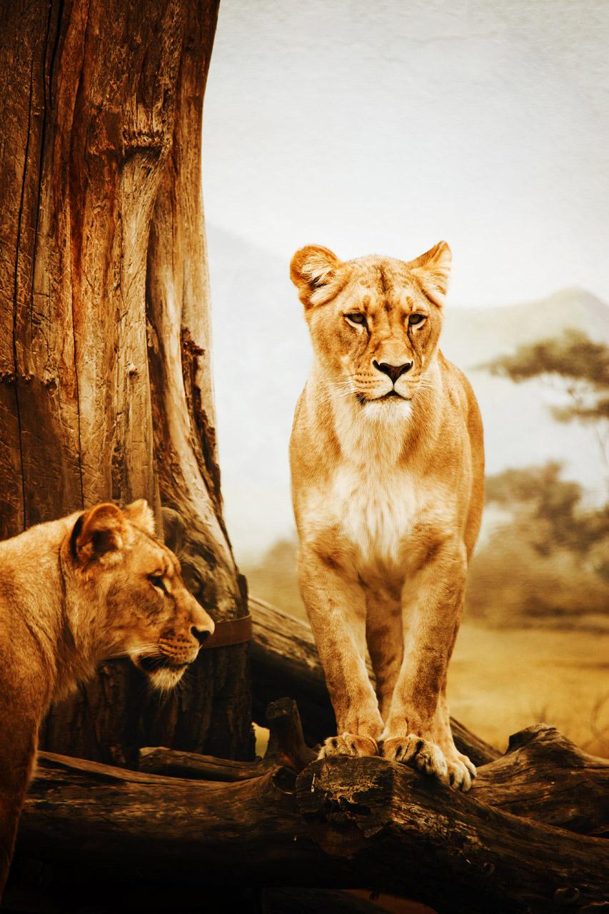 Free Two lions standing in dry yellow field