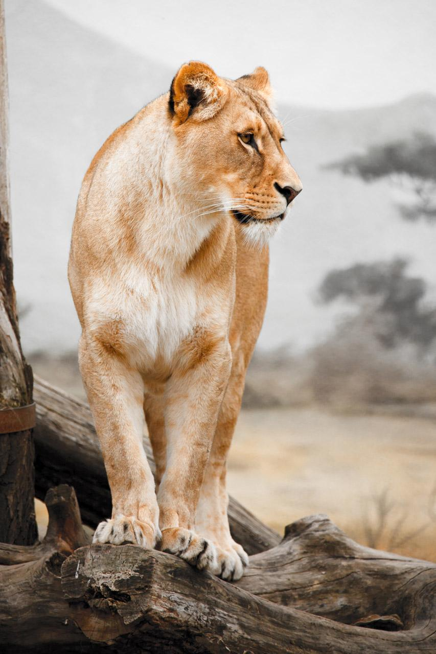 Free Photos: Lioness profile in unusual colors | publicdomain
