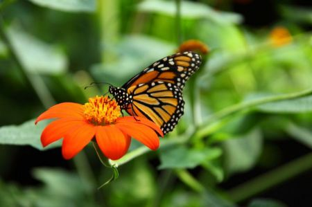 Free Monarch butterfly feeding on nectar on mexican sunflower