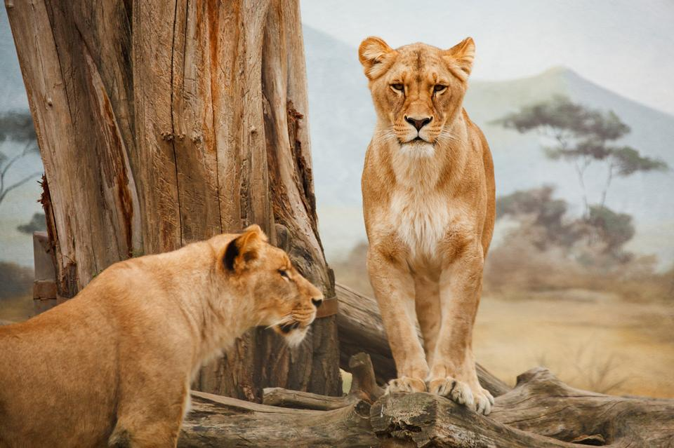 Free Two lions standing, one of them is on the log