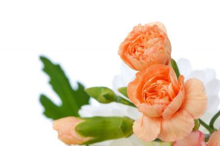 Free Orange carnations isolated on white background