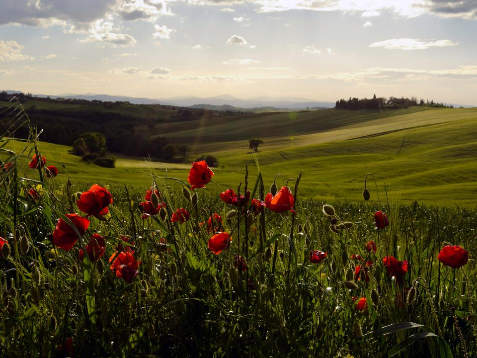Free Tuscan Countryside with Poppies