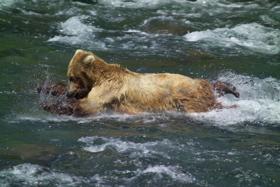 Free Young bear learning to catch salmon