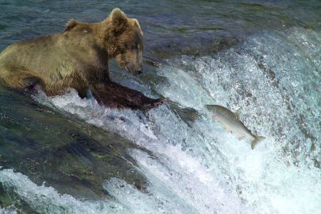 Free Brown bear fishing for sockeye salmon