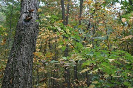 Free Birch forest