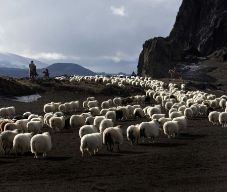 Free flock of sheep in the mountains at summer