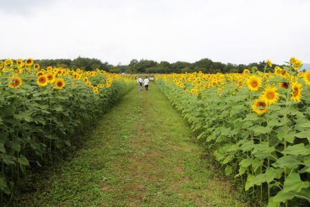 Free summer sunflower field over cloudy blue sky