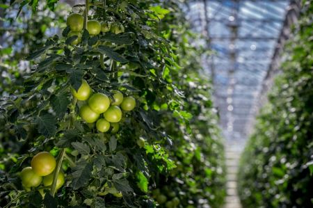 Free Tomatoes ripening in a greenhouse