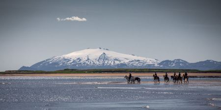 Free danish horses on a field in the summer iceland