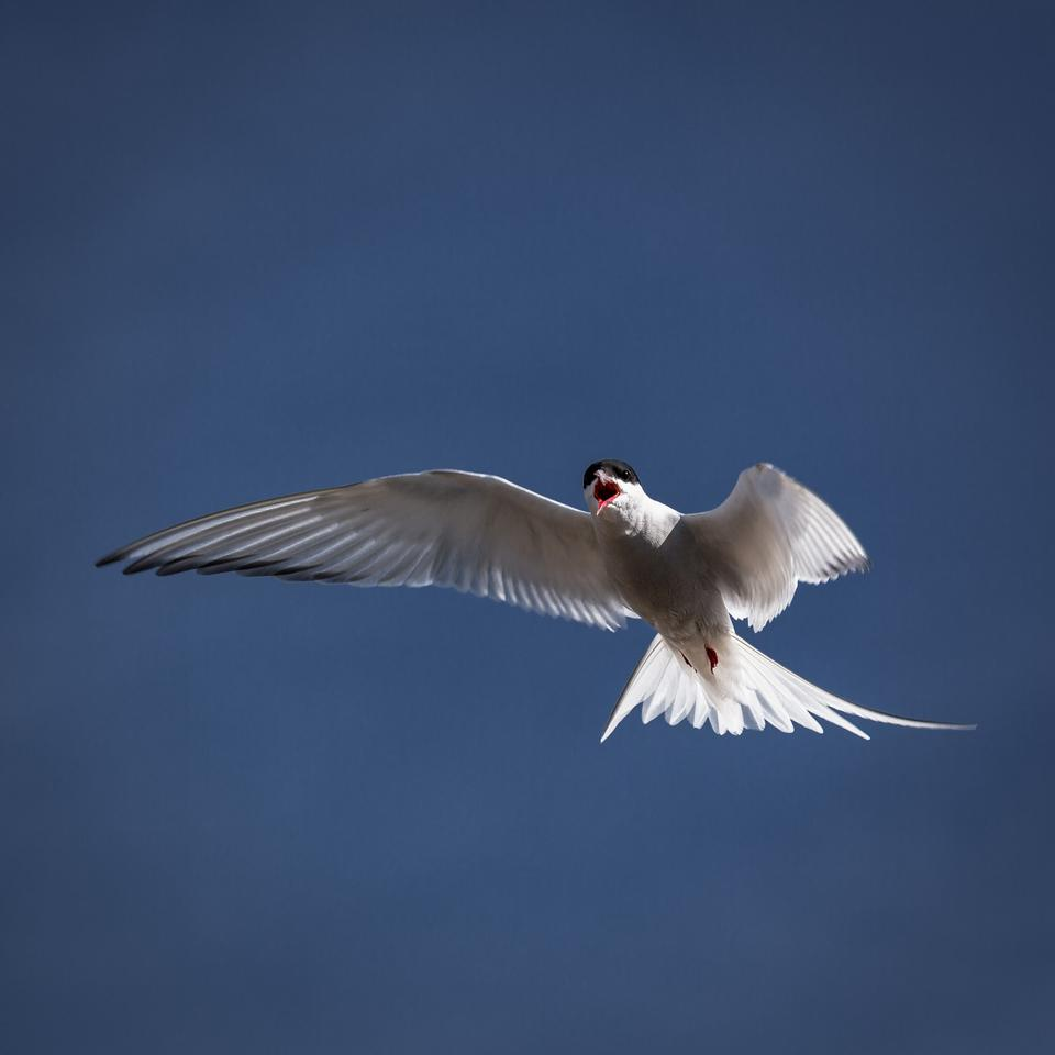 Free Iceland Gull flying across the sky