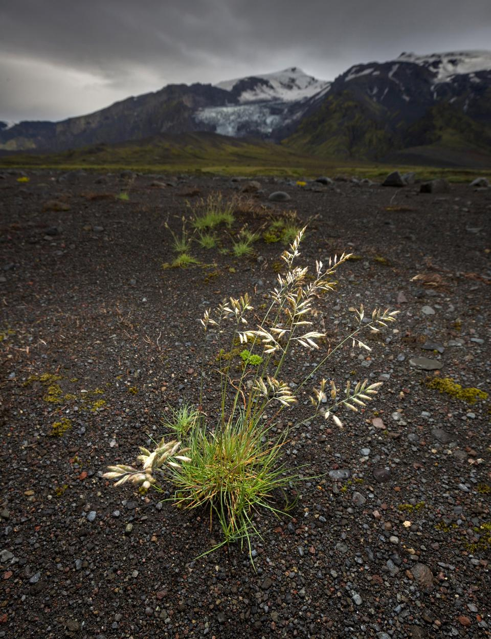 Free Iceland wildflowers