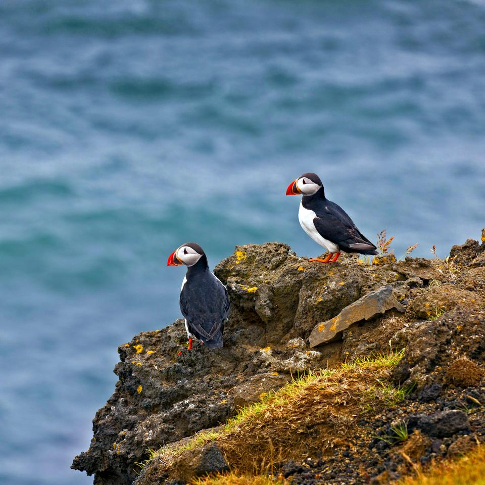 Free Cute Atlantic puffin in Iceland