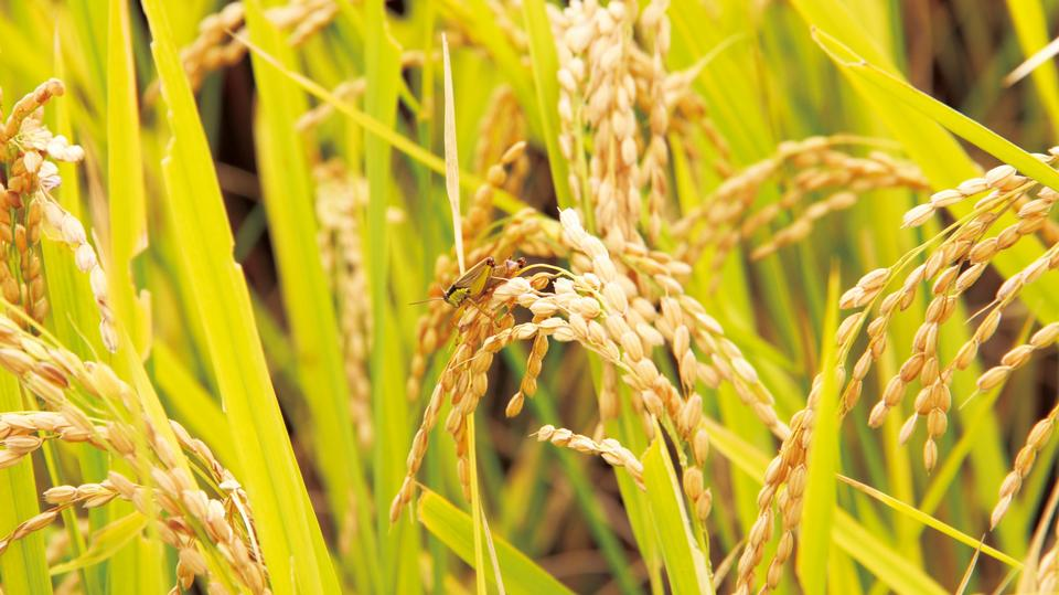 Free Rice field