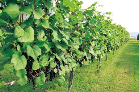 Free Raws of vines in Hokkaido Japan