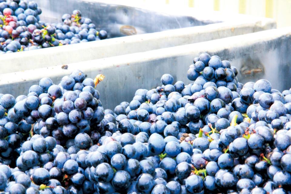 Free Grape Vineyard