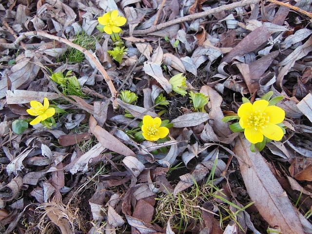 Free herald of spring flowers eranthis yellow green