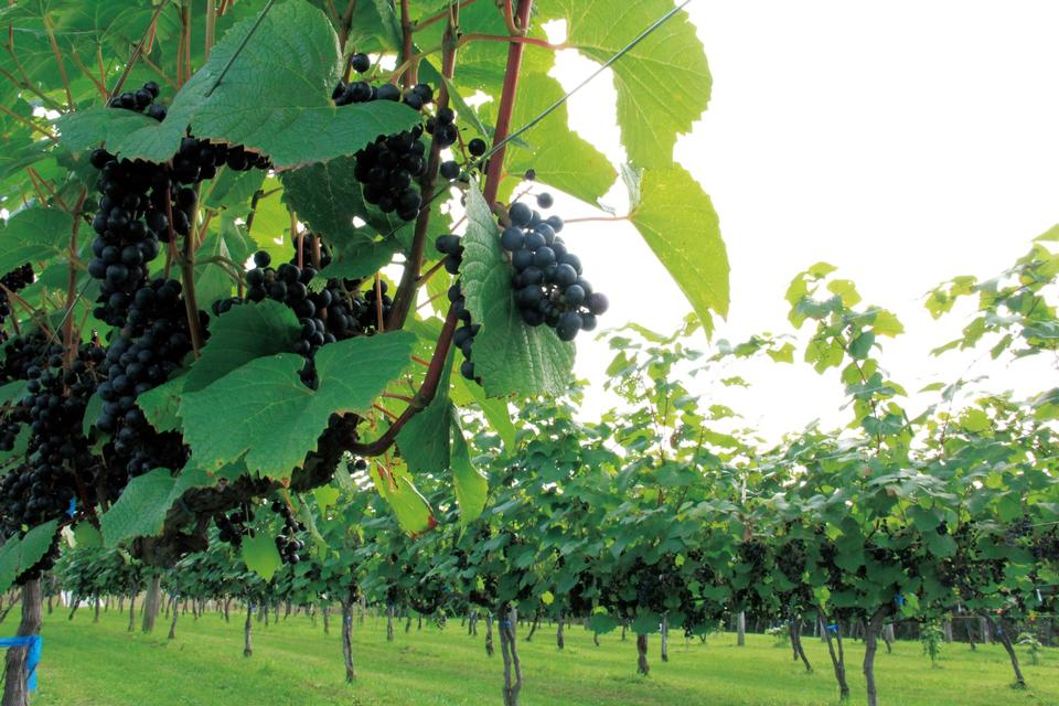 Free Grape Vineyard Hokkaido