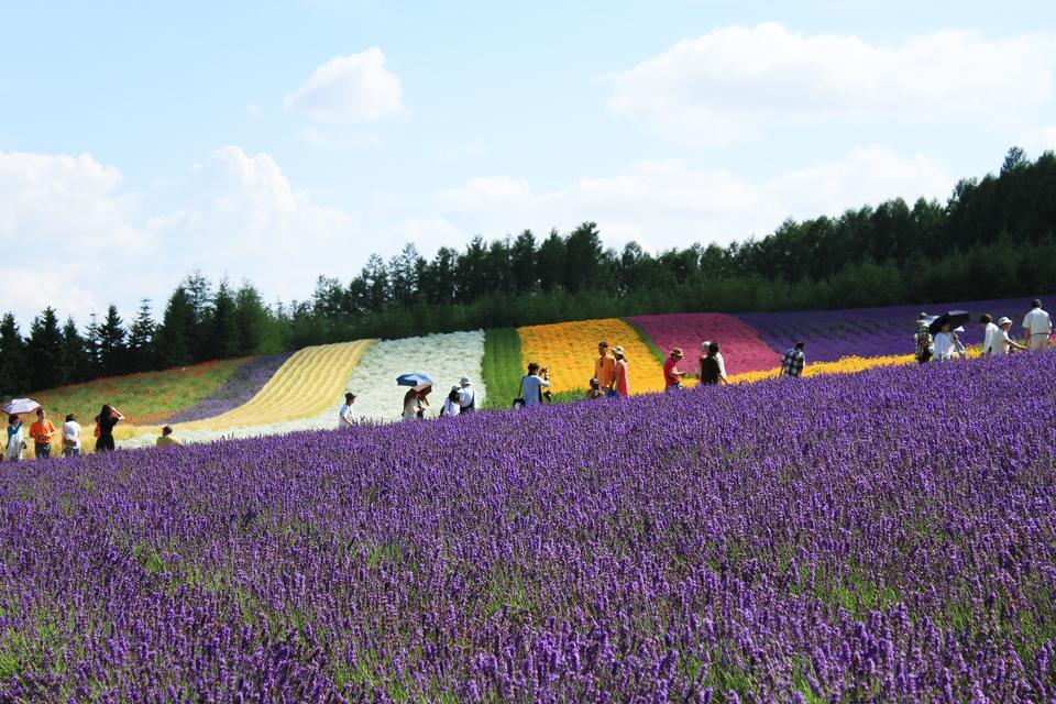 Free Lavendar farm Hokkaido