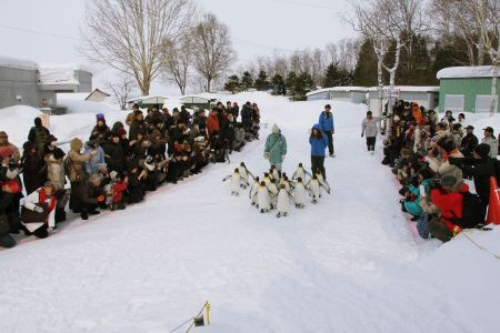 Free Penguin Parade in Asahiyama Zoo
