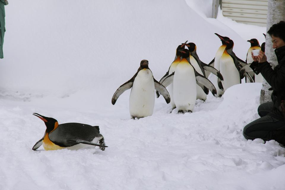 Free Penguins Walk in Asahiyama Zoo