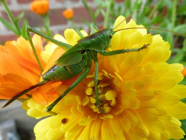 Free una sauterrelle insect flower grasshopper nature
