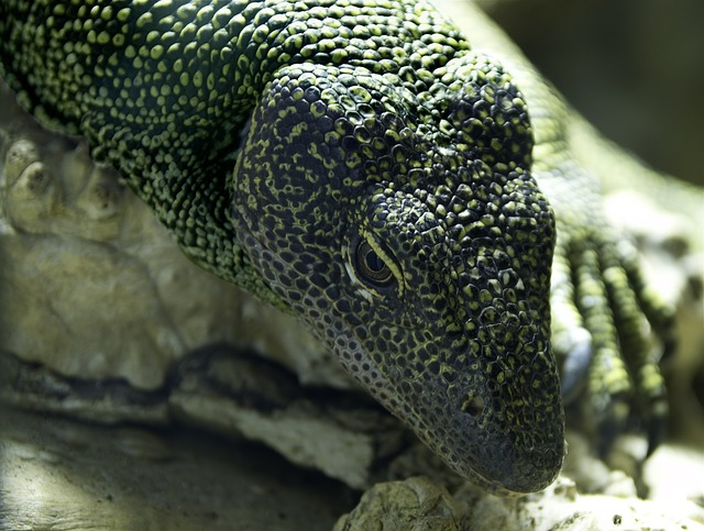 Free monitor lizard reptile animal macro close-up