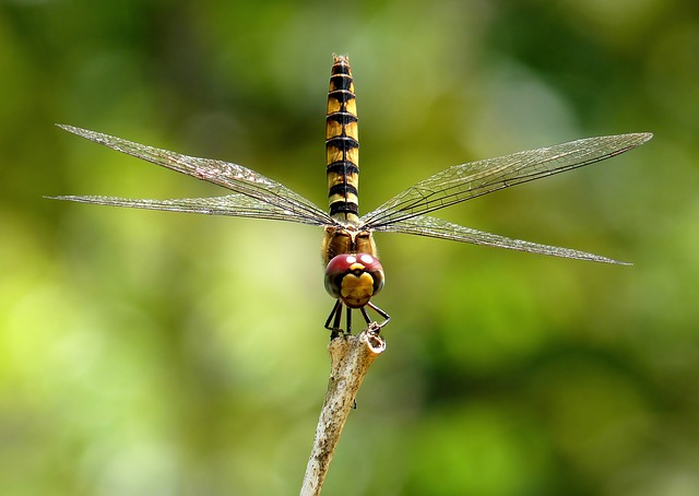 Free                greater crimson glider dragonfly insect macro