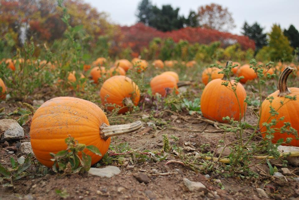 Free Pumpkin Patch