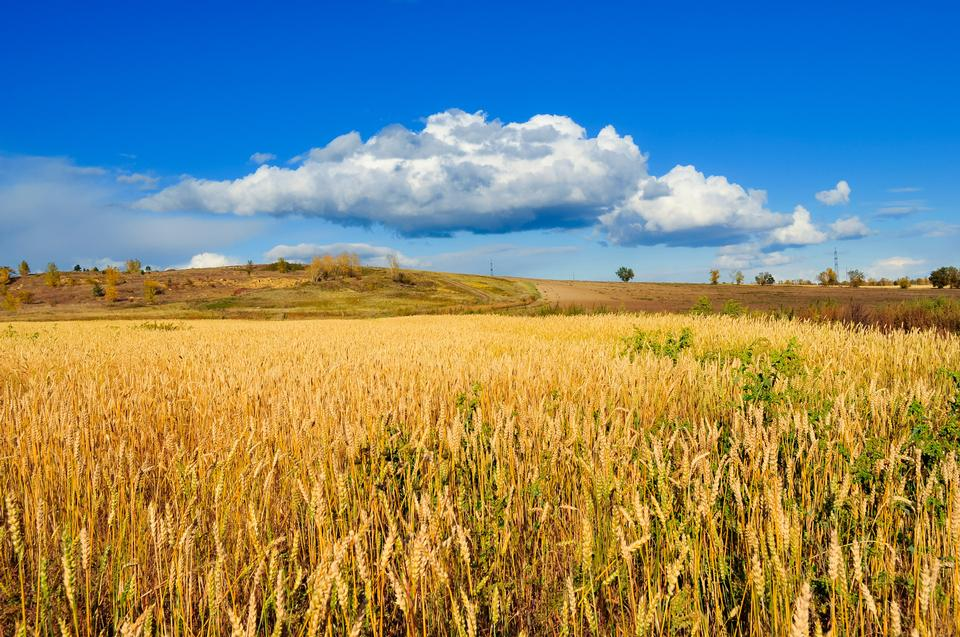 Free Golden fields of wheat on a background beautiful sky