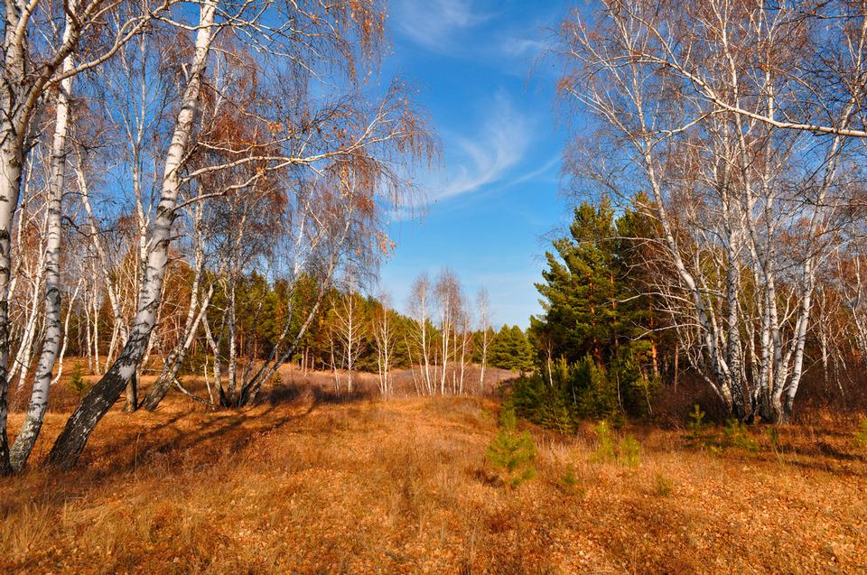 Free Many birches in the autumn forest