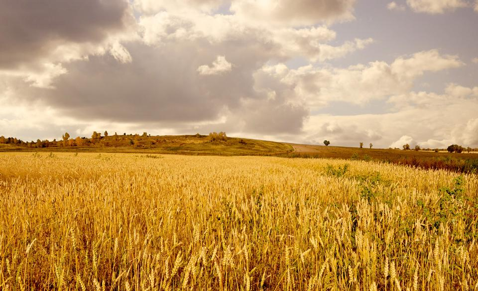 Free Wheat field on a background of clouds