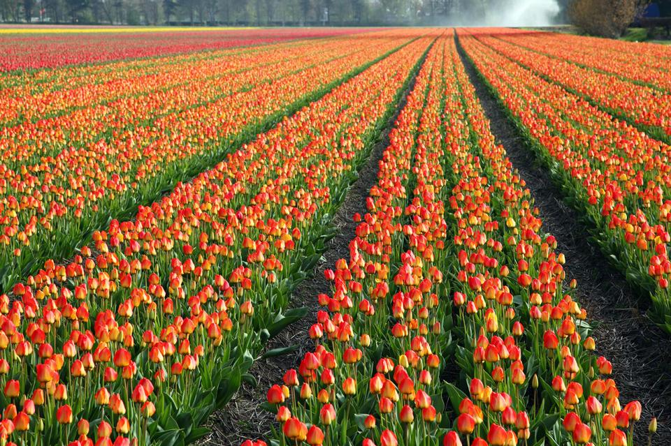 Free Colorful tulip field in Holland