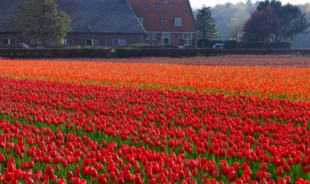 Free Tulip field in front of the house in Holland