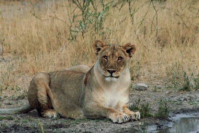 Free lion female cat wildlife namibia africa nature