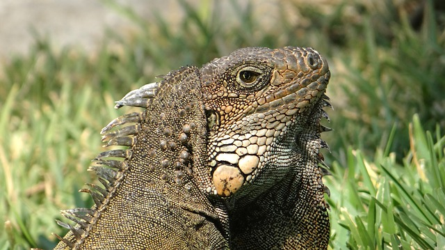 Free iguana herbivorous lizards reptile animal lizard