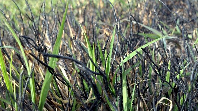 Free grass springing new fresh burned