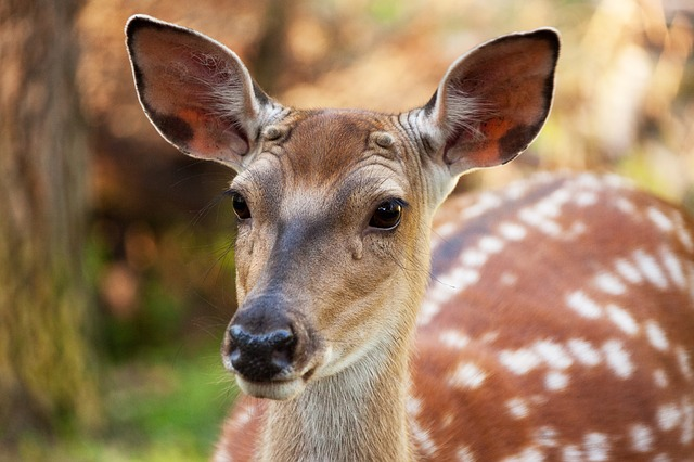 Free animal brown deer fallow deer fawn female head