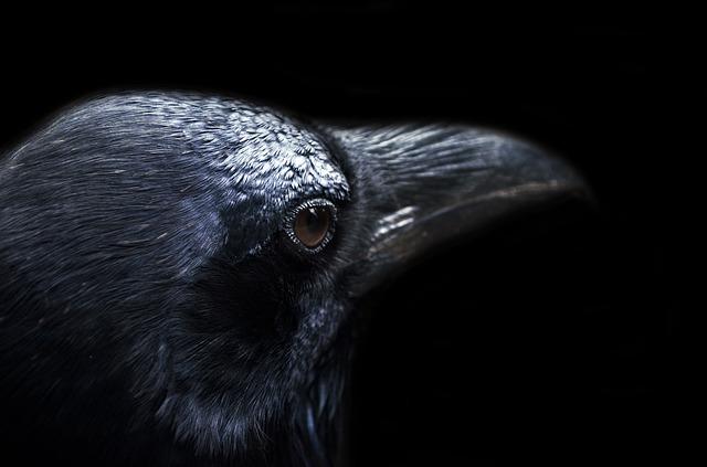 Free animal autumn background bird black crow dark