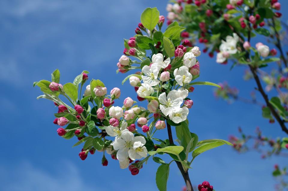 Free Apple Blossom Tree Branch