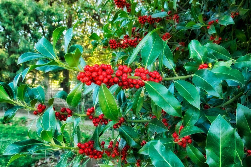 Free Europeon Holly Plants Blooms Flowers