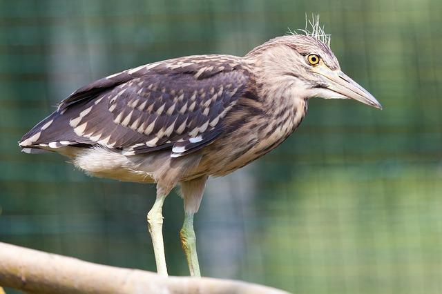 Free animal beak bird brown eye feather heron night