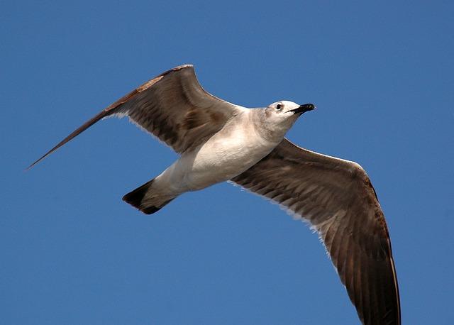 Free seagull gull bird white soaring