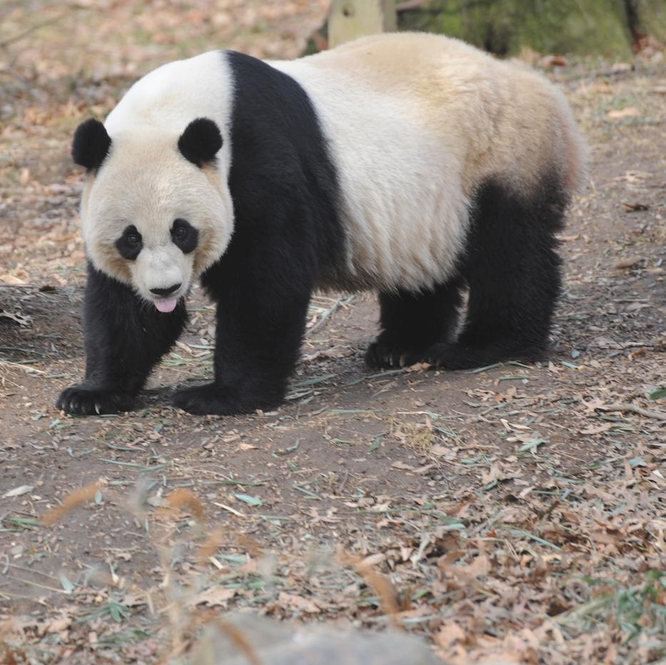 Free Panda Bear Mei Xiang