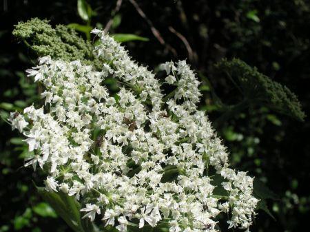 Free Smoky Mountains Wildflowers