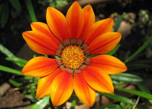 Free shiny sun flower