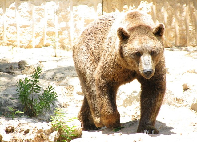 Free grizzly brown bear bear brown mammal animal zoo