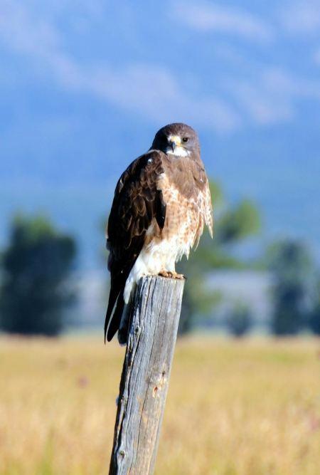 Free California Swainson's Hawk