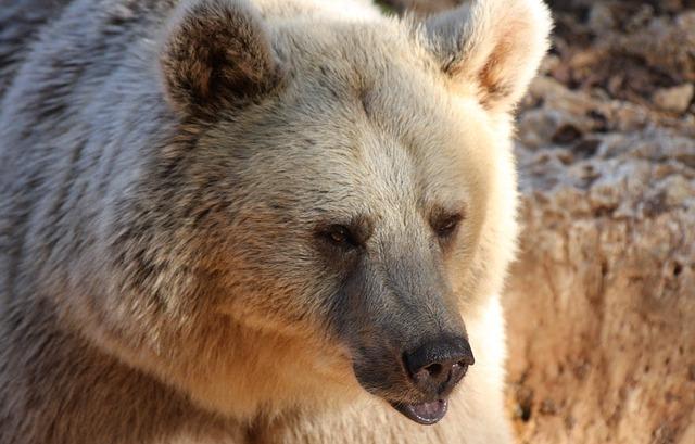 Free bear down looking