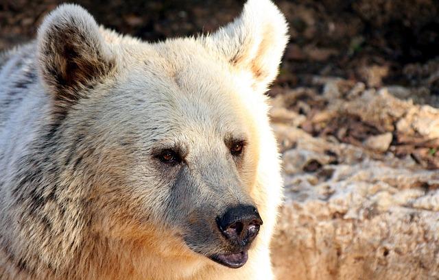 Free bear portrait side