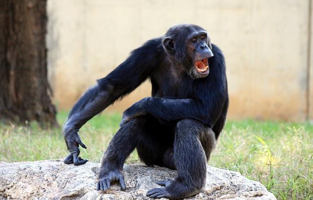 Free ape chimp chimpanzee lazy monkey mouth yawning
